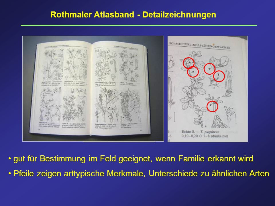 Rothmaler Atlasband - Detailzeichnungen gut für Bestimmung im Feld geeignet, wenn Familie erkannt wird Pfeile zeigen arttypische Merkmale, Unterschied