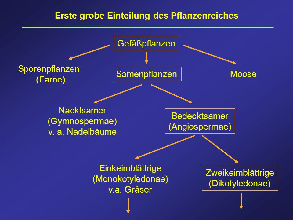 Erste grobe Einteilung des Pflanzenreiches Gefäßpflanzen Sporenpflanzen (Farne) Moose Samenpflanzen Nacktsamer (Gymnospermae) v. a. Nadelbäume Bedeckt