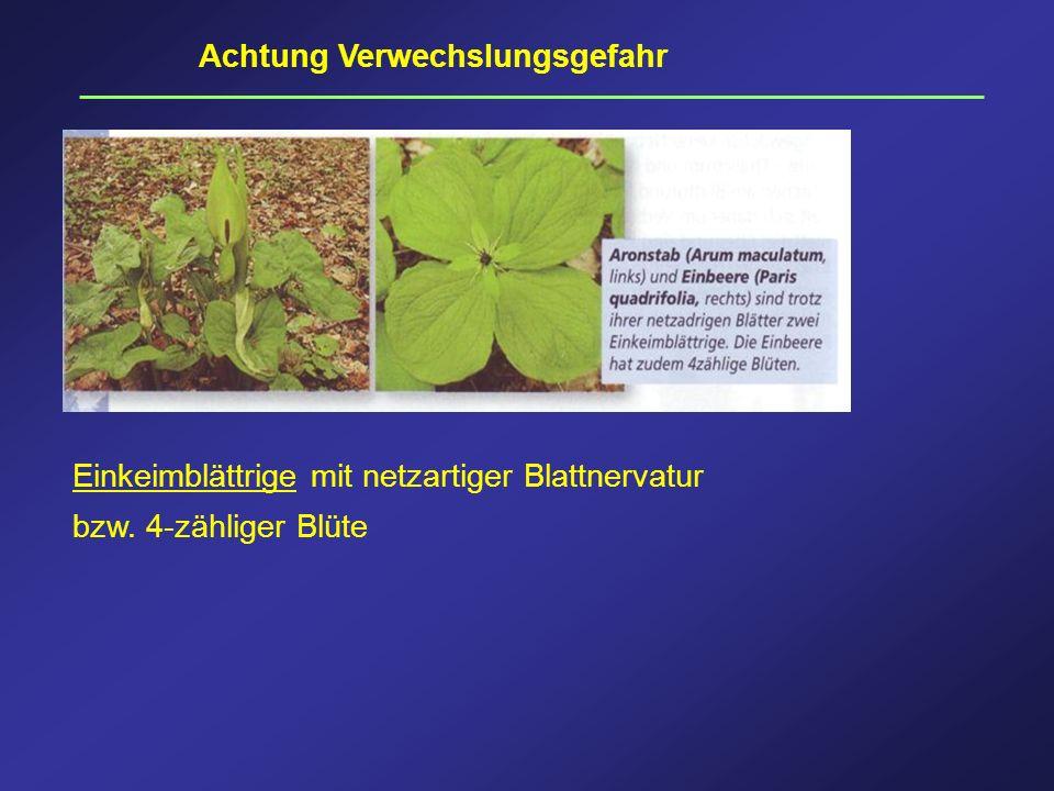 Achtung Verwechslungsgefahr Einkeimblättrige mit netzartiger Blattnervatur bzw. 4-zähliger Blüte
