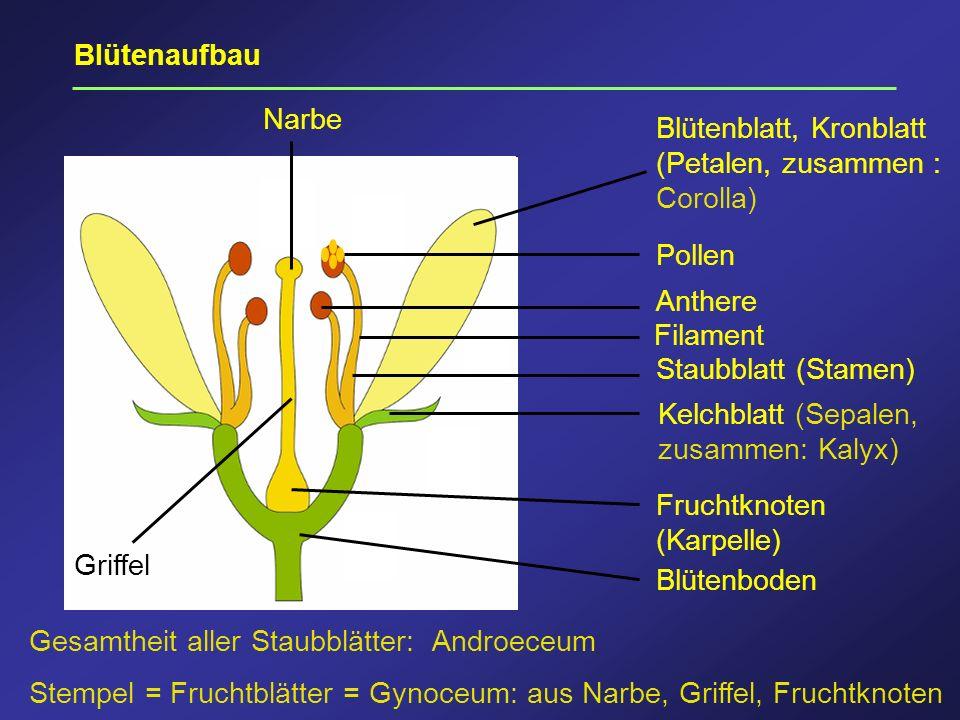 Blütenboden Fruchtknoten (Karpelle) Staubblatt (Stamen) Kelchblatt (Sepalen, zusammen: Kalyx) Griffel Anthere Filament Pollen Narbe Blütenblatt, Kronb