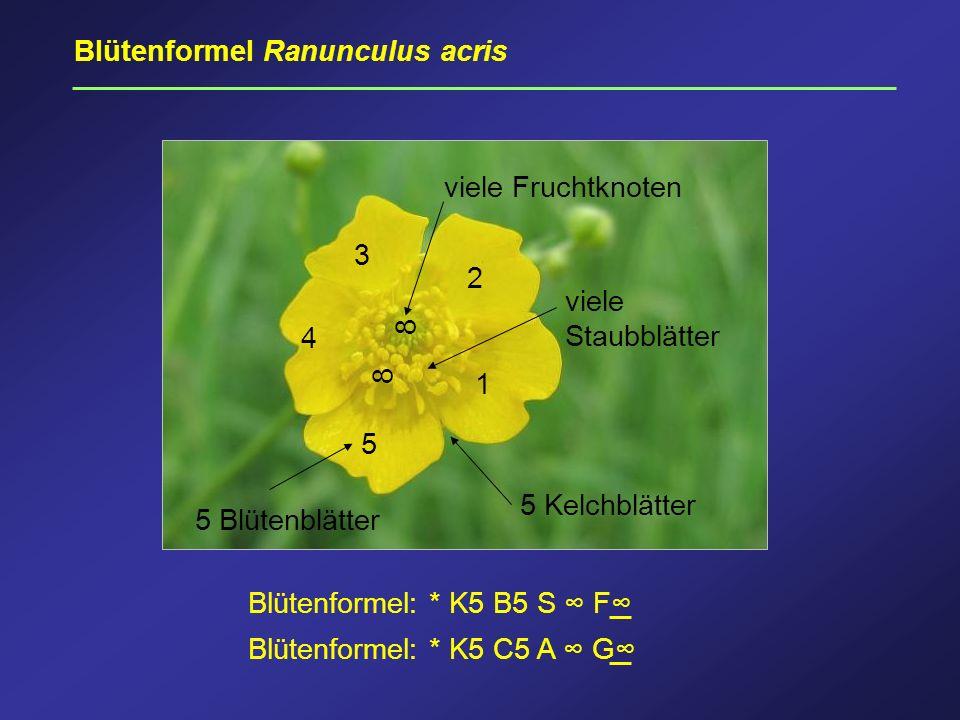 Blütenformel Ranunculus acris 5 4 3 2 1 5 Blütenblätter 8 viele Fruchtknoten 5 Kelchblätter 8 viele Staubblätter Blütenformel: * K5 B5 S F Blütenforme