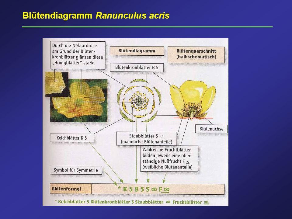 Blütendiagramm Ranunculus acris