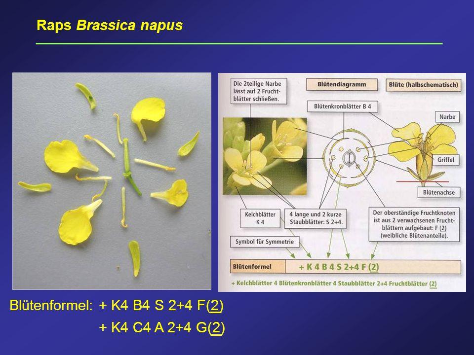 Raps Brassica napus Blütenformel: + K4 B4 S 2+4 F(2) + K4 C4 A 2+4 G(2)