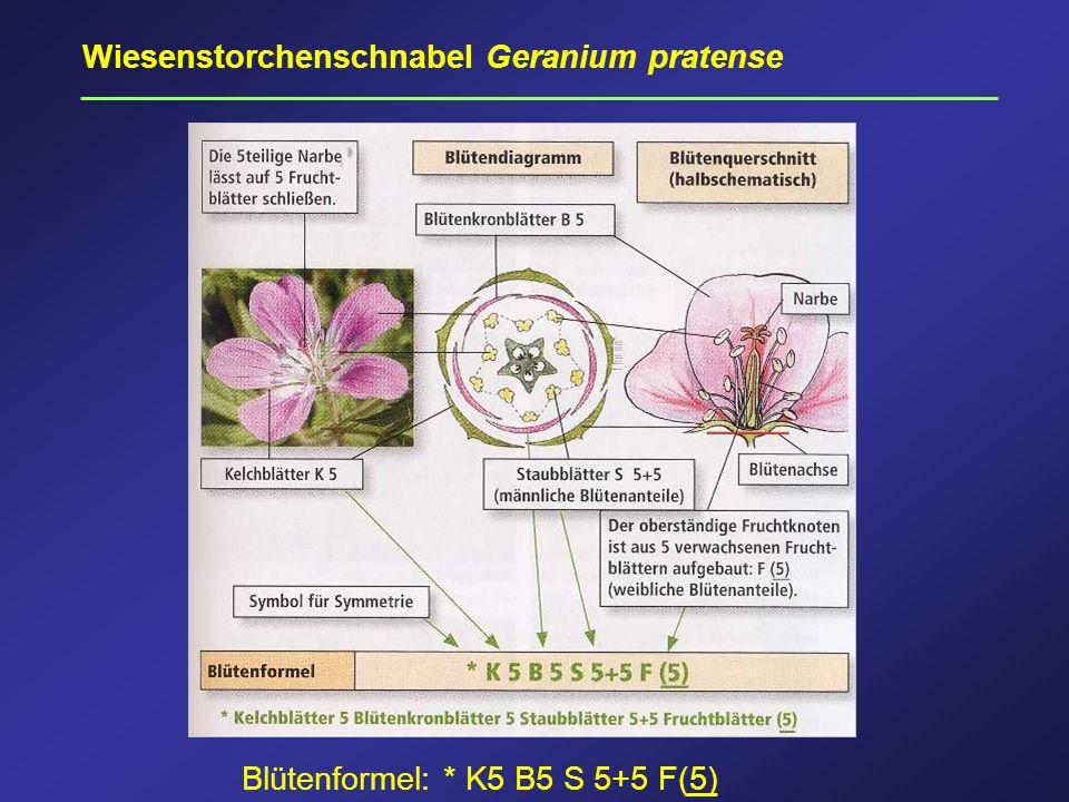 Wiesenstorchenschnabel Geranium pratense Blütenformel: * K5 B5 S 5+5 F(5)