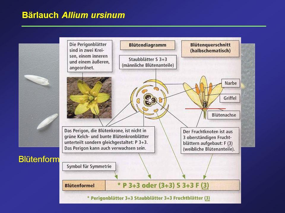 Perigon, Bärlauch Bärlauch Allium ursinum Blütenformel: * P3+3 S 3+3 F(3) * P3+3 A 3+3 G (3) Perigon