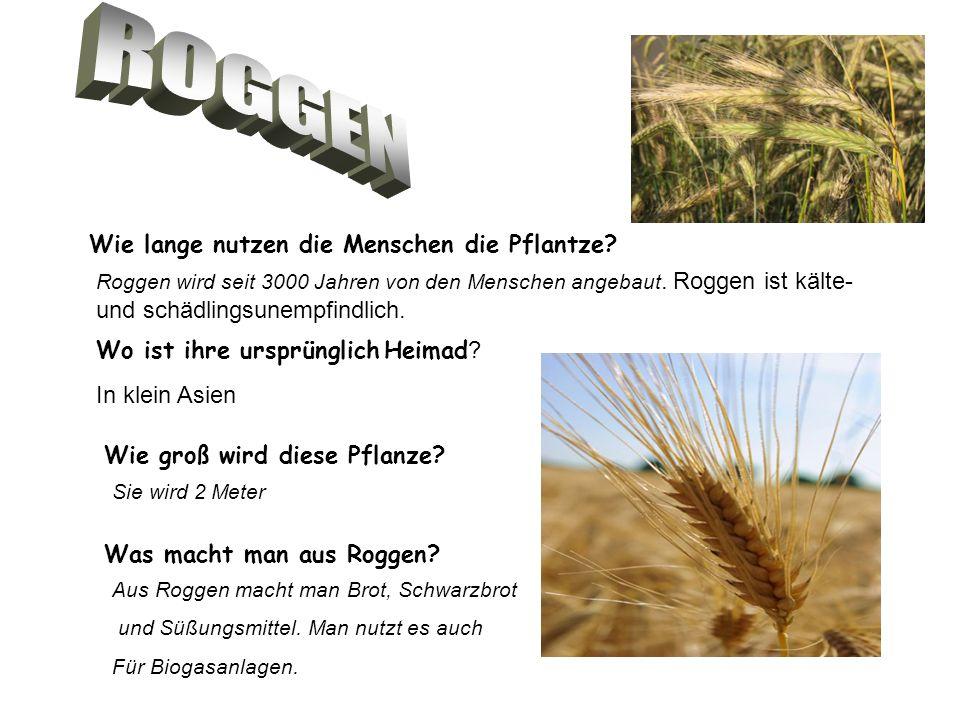Roggen wird seit 3000 Jahren von den Menschen angebaut. Roggen ist kälte- und schädlingsunempfindlich. Wie lange nutzen die Menschen die Pflantze? Wo