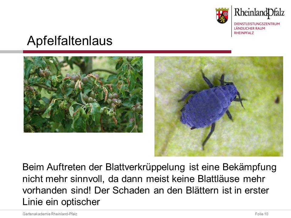 Folie 10Gartenakademie Rheinland-Pfalz Apfelfaltenlaus Beim Auftreten der Blattverkrüppelung ist eine Bekämpfung nicht mehr sinnvoll, da dann meist ke