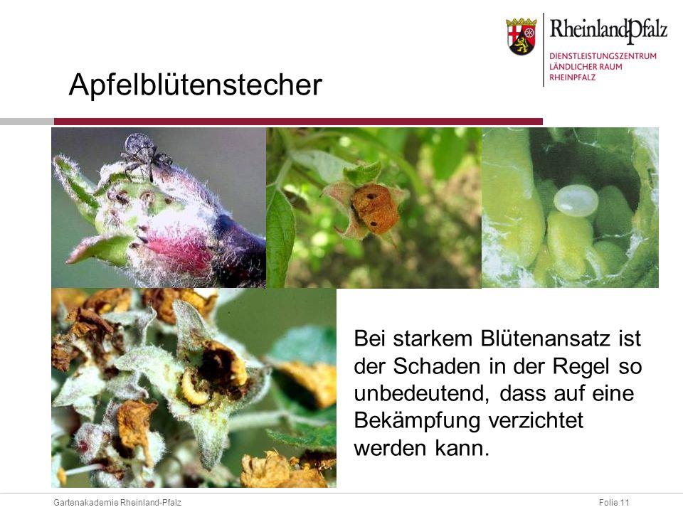 Folie 11Gartenakademie Rheinland-Pfalz Apfelblütenstecher Bei starkem Blütenansatz ist der Schaden in der Regel so unbedeutend, dass auf eine Bekämpfu