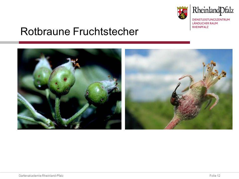 Folie 12Gartenakademie Rheinland-Pfalz Rotbraune Fruchtstecher