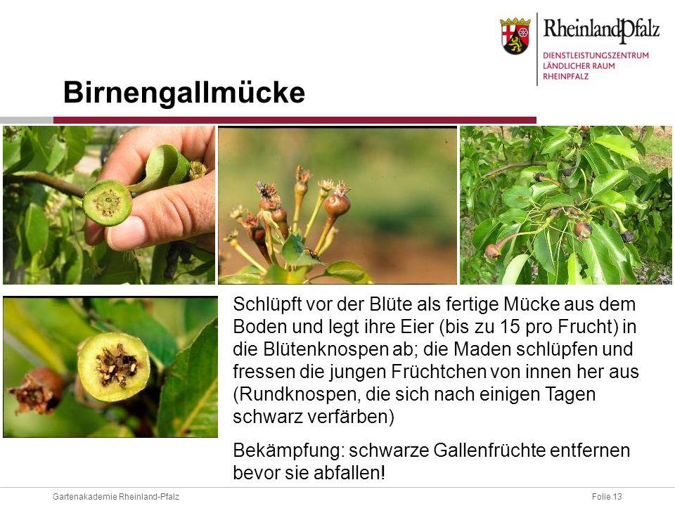 Folie 13Gartenakademie Rheinland-Pfalz Schlüpft vor der Blüte als fertige Mücke aus dem Boden und legt ihre Eier (bis zu 15 pro Frucht) in die Blütenk