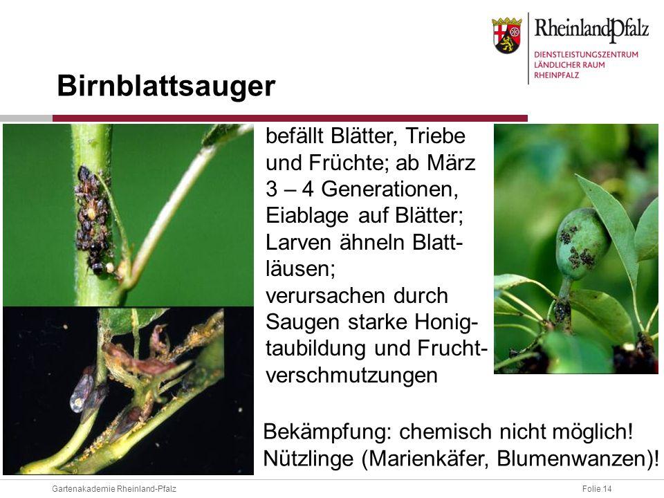 Folie 14Gartenakademie Rheinland-Pfalz befällt Blätter, Triebe und Früchte; ab März 3 – 4 Generationen, Eiablage auf Blätter; Larven ähneln Blatt- läu