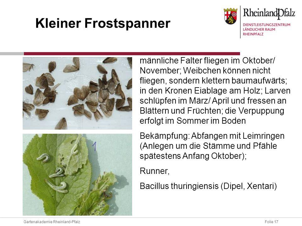 Folie 17Gartenakademie Rheinland-Pfalz männliche Falter fliegen im Oktober/ November; Weibchen können nicht fliegen, sondern klettern baumaufwärts; in