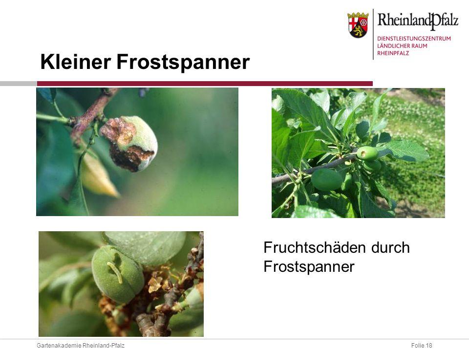 Folie 18Gartenakademie Rheinland-Pfalz Fruchtschäden durch Frostspanner Kleiner Frostspanner