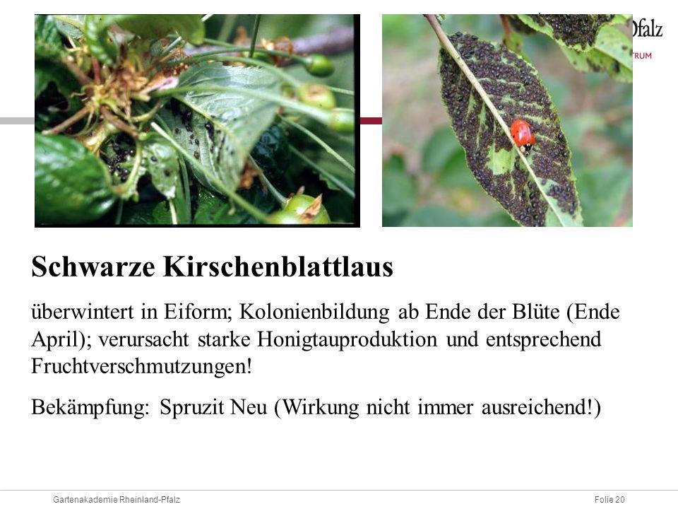 Folie 20Gartenakademie Rheinland-Pfalz Schwarze Kirschenblattlaus überwintert in Eiform; Kolonienbildung ab Ende der Blüte (Ende April); verursacht st