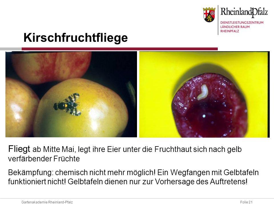 Folie 21Gartenakademie Rheinland-Pfalz Fliegt ab Mitte Mai, legt ihre Eier unter die Fruchthaut sich nach gelb verfärbender Früchte Bekämpfung: chemis