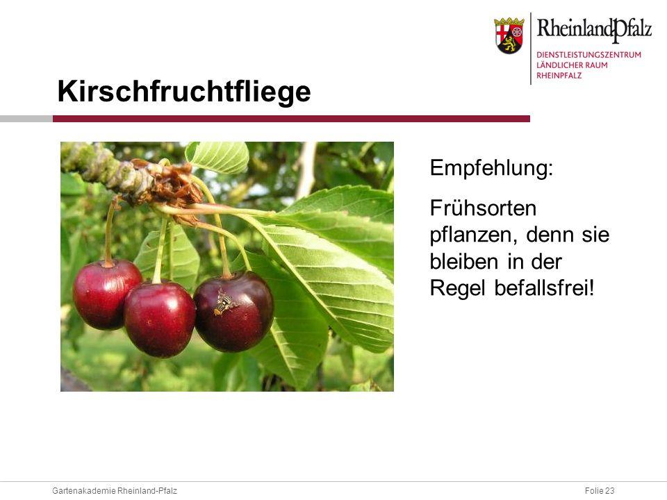 Folie 23Gartenakademie Rheinland-Pfalz Kirschfruchtfliege Empfehlung: Frühsorten pflanzen, denn sie bleiben in der Regel befallsfrei!