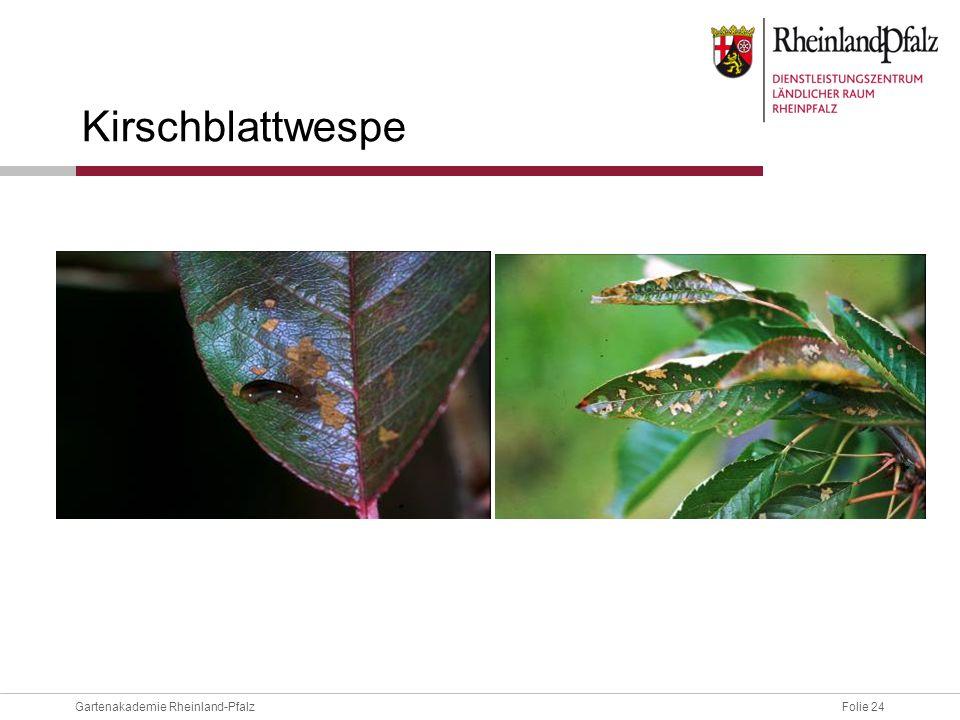 Folie 24Gartenakademie Rheinland-Pfalz Kirschblattwespe
