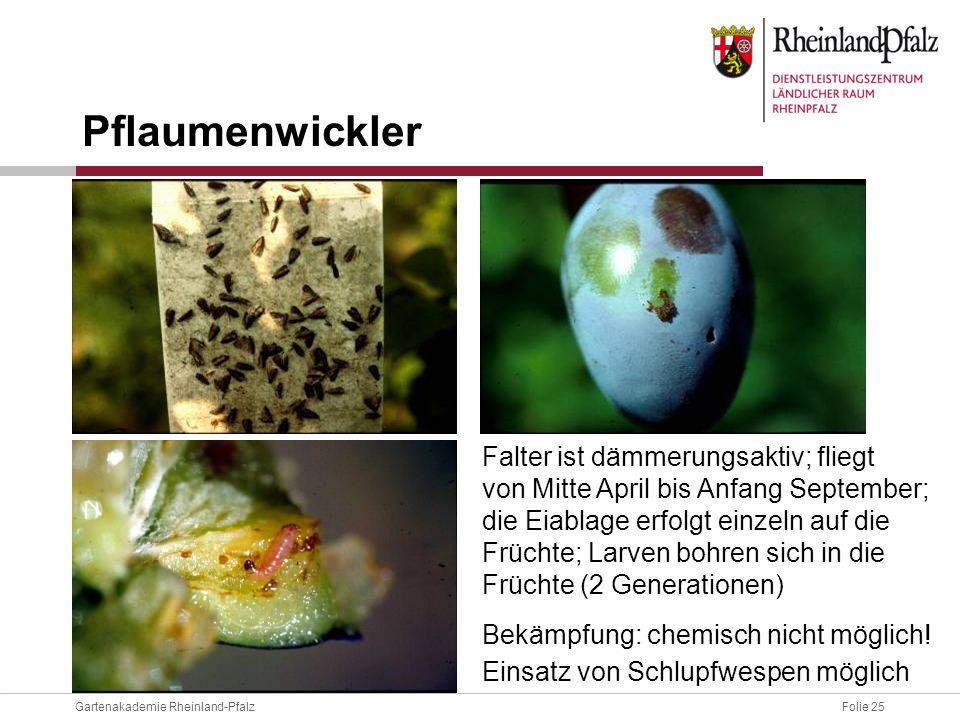 Folie 25Gartenakademie Rheinland-Pfalz Falter ist dämmerungsaktiv; fliegt von Mitte April bis Anfang September; die Eiablage erfolgt einzeln auf die F