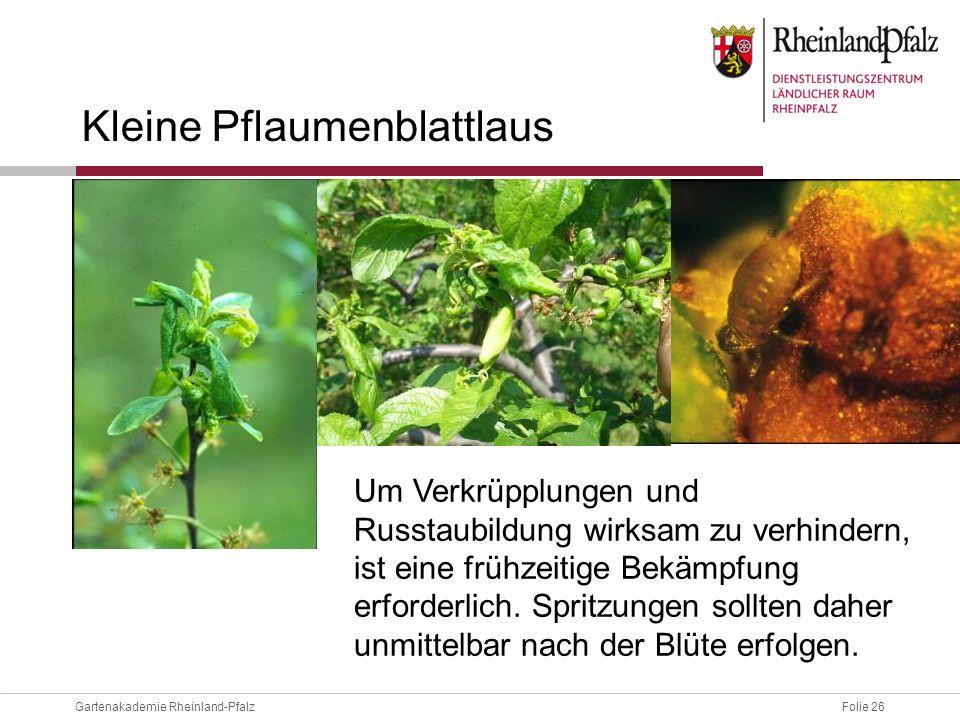 Folie 26Gartenakademie Rheinland-Pfalz Kleine Pflaumenblattlaus Um Verkrüpplungen und Russtaubildung wirksam zu verhindern, ist eine frühzeitige Bekäm