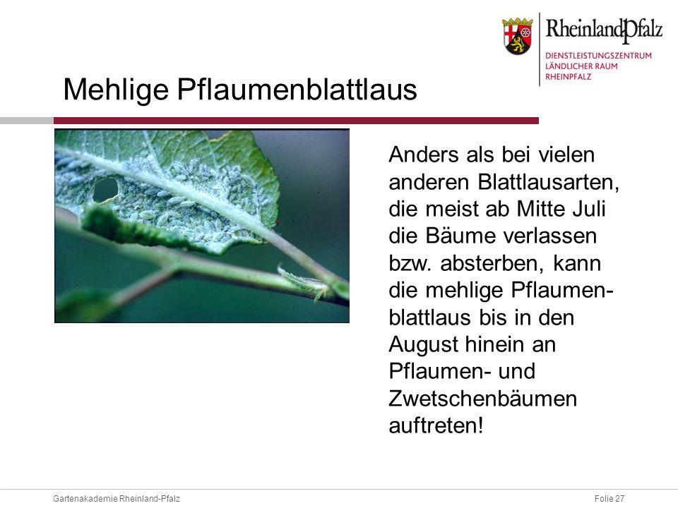 Folie 27Gartenakademie Rheinland-Pfalz Mehlige Pflaumenblattlaus Anders als bei vielen anderen Blattlausarten, die meist ab Mitte Juli die Bäume verla