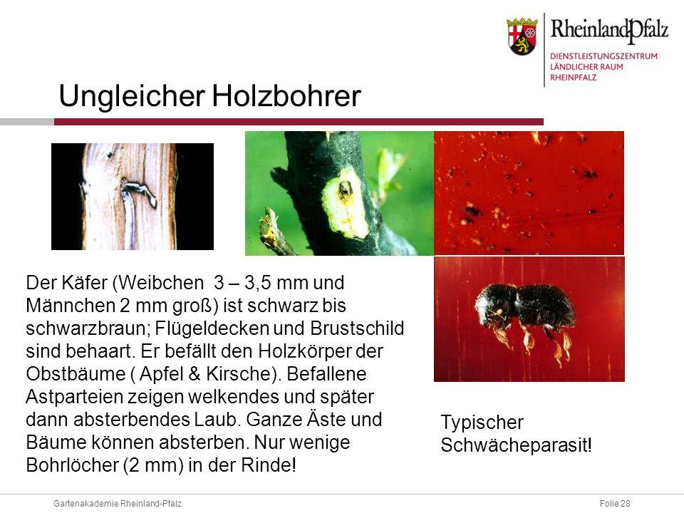 Folie 28Gartenakademie Rheinland-Pfalz Ungleicher Holzbohrer Der Käfer (Weibchen 3 – 3,5 mm und Männchen 2 mm groß) ist schwarz bis schwarzbraun; Flüg