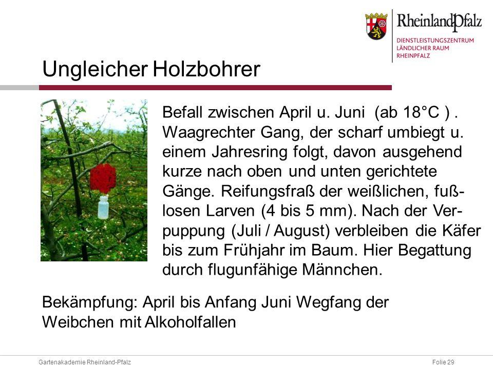 Folie 29Gartenakademie Rheinland-Pfalz Ungleicher Holzbohrer Befall zwischen April u. Juni (ab 18°C ). Waagrechter Gang, der scharf umbiegt u. einem J