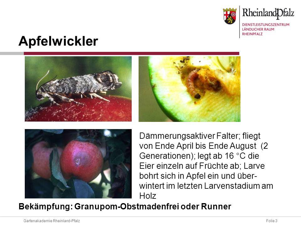 Folie 4Gartenakademie Rheinland-Pfalz Apfelwicklerbekämpfung durch Einsatz von: zugelassenen Insektiziden und Granuloseviren nur nach Feststellung des Fluges anhand von Pheromonfallen nur für sehr erfahrene Hobbygärtner mit guten Kenntnissen Wellpappe-Fanggürteln ab Mitte Juni - Mitte Juli.