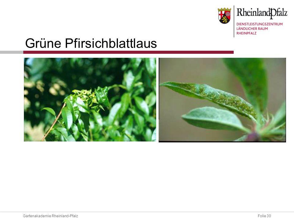 Folie 30Gartenakademie Rheinland-Pfalz Grüne Pfirsichblattlaus