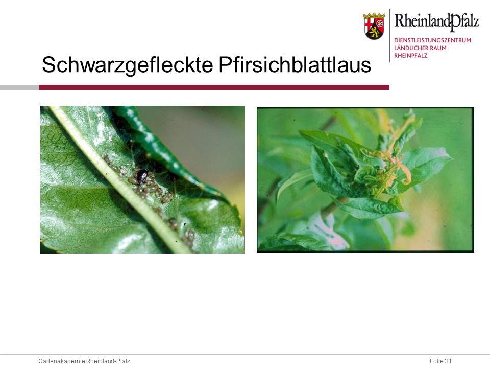Folie 31Gartenakademie Rheinland-Pfalz Schwarzgefleckte Pfirsichblattlaus