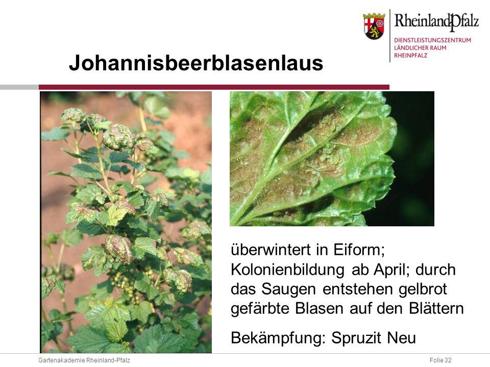 Folie 32Gartenakademie Rheinland-Pfalz überwintert in Eiform; Kolonienbildung ab April; durch das Saugen entstehen gelbrot gefärbte Blasen auf den Blä