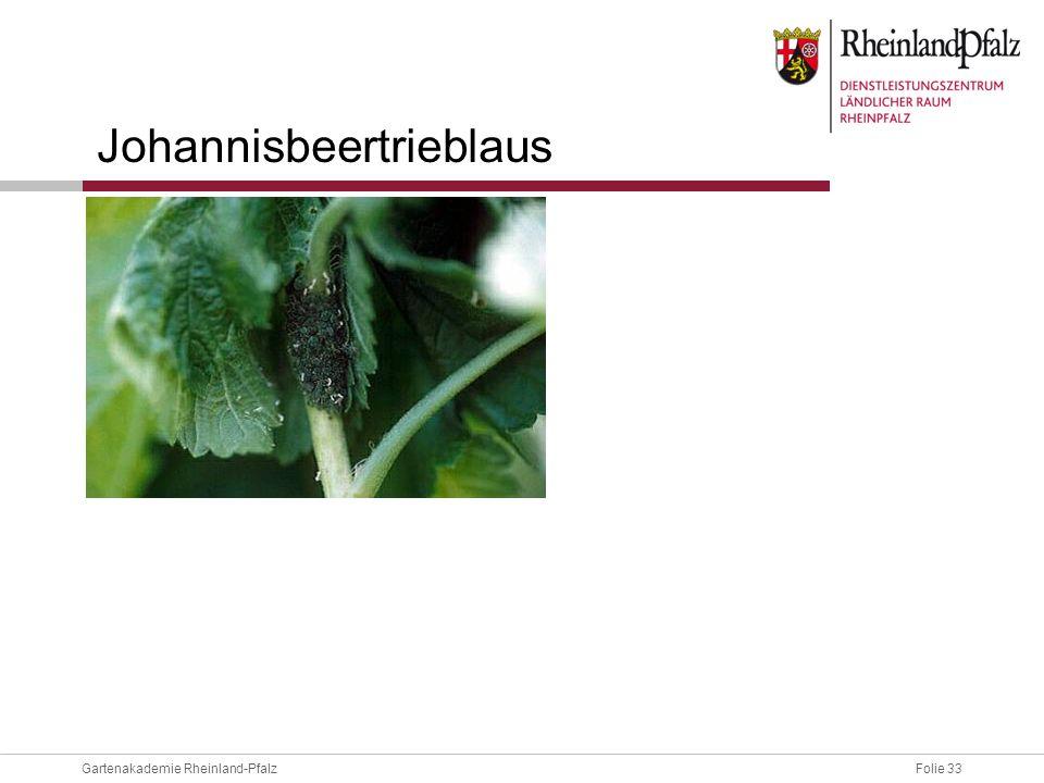 Folie 33Gartenakademie Rheinland-Pfalz Johannisbeertrieblaus