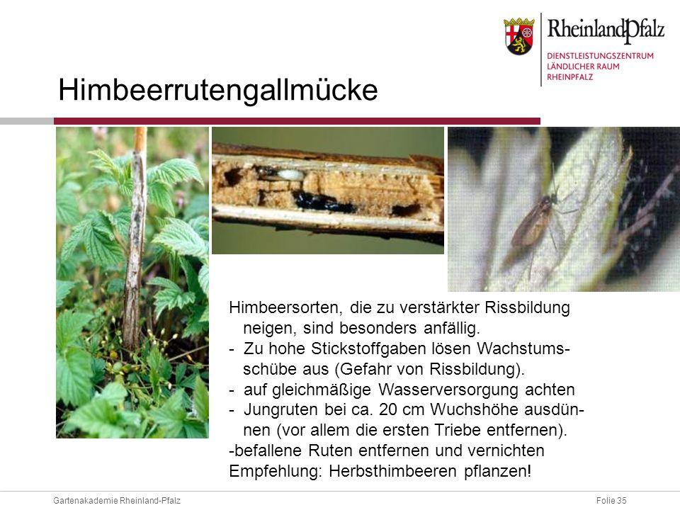 Folie 35Gartenakademie Rheinland-Pfalz Himbeersorten, die zu verstärkter Rissbildung neigen, sind besonders anfällig. - Zu hohe Stickstoffgaben lösen