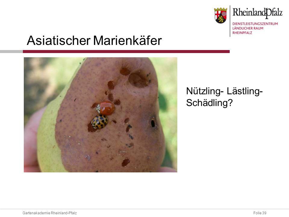 Folie 39Gartenakademie Rheinland-Pfalz Asiatischer Marienkäfer Nützling- Lästling- Schädling?