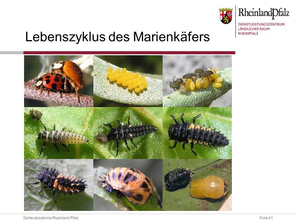 Folie 41Gartenakademie Rheinland-Pfalz Lebenszyklus des Marienkäfers