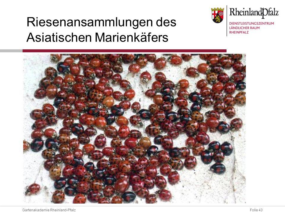 Folie 43Gartenakademie Rheinland-Pfalz Riesenansammlungen des Asiatischen Marienkäfers