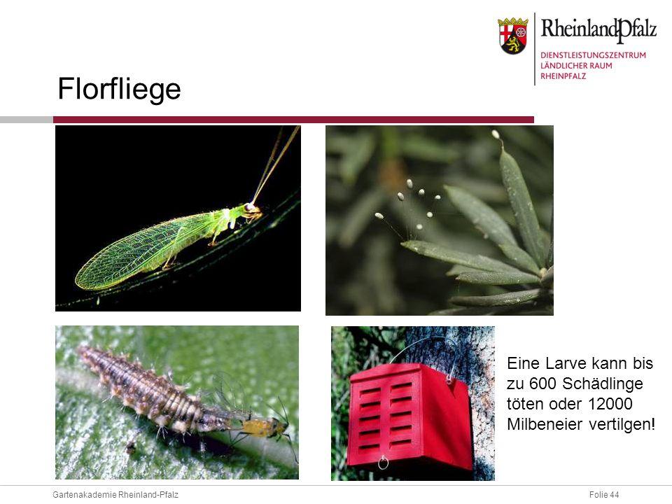 Folie 44Gartenakademie Rheinland-Pfalz Florfliege Eine Larve kann bis zu 600 Schädlinge töten oder 12000 Milbeneier vertilgen!