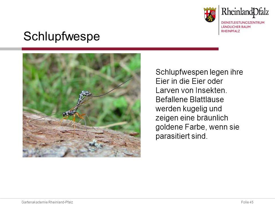 Folie 45Gartenakademie Rheinland-Pfalz Schlupfwespe Schlupfwespen legen ihre Eier in die Eier oder Larven von Insekten. Befallene Blattläuse werden ku