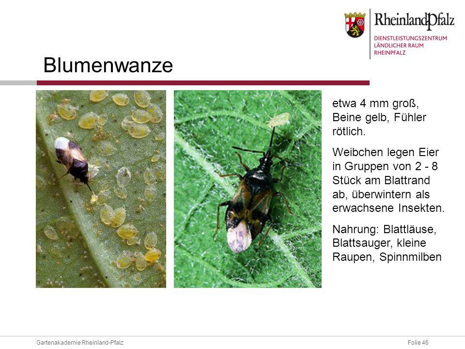 Folie 46Gartenakademie Rheinland-Pfalz Blumenwanze etwa 4 mm groß, Beine gelb, Fühler rötlich. Weibchen legen Eier in Gruppen von 2 - 8 Stück am Blatt