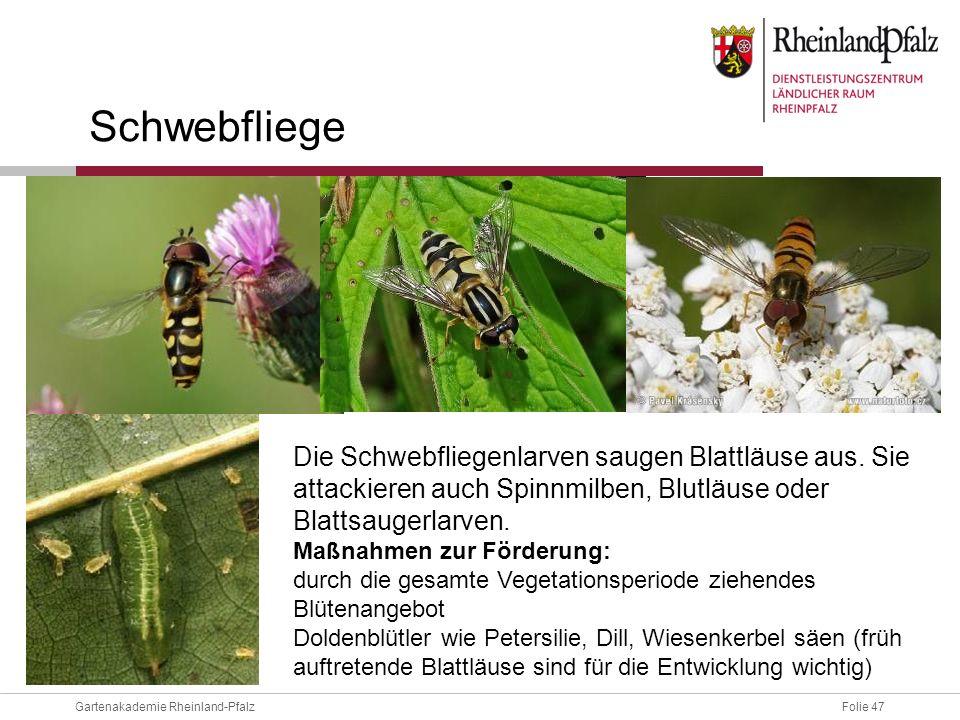 Folie 47Gartenakademie Rheinland-Pfalz Schwebfliege Die Schwebfliegenlarven saugen Blattläuse aus. Sie attackieren auch Spinnmilben, Blutläuse oder Bl