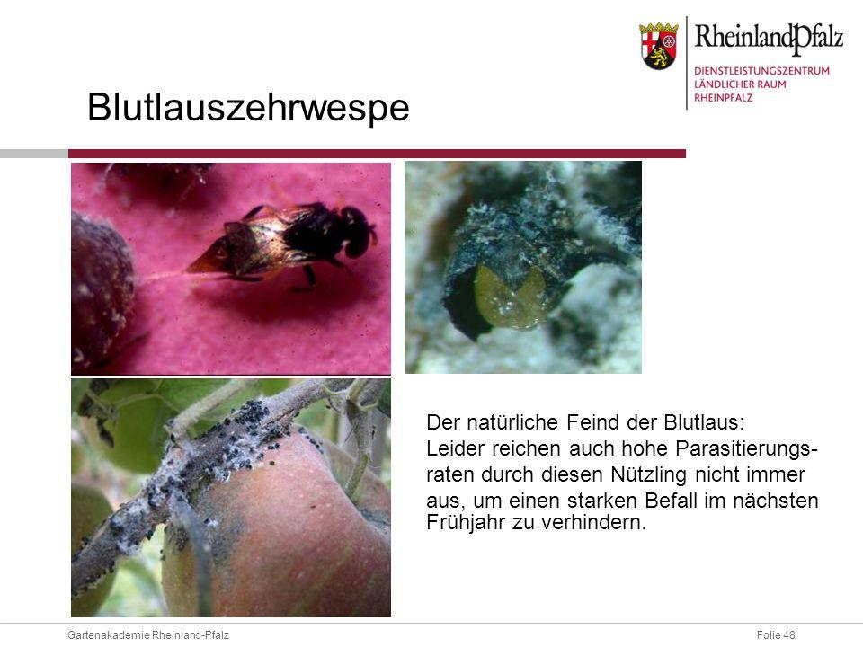 Folie 48Gartenakademie Rheinland-Pfalz Blutlauszehrwespe Der natürliche Feind der Blutlaus: Leider reichen auch hohe Parasitierungs- raten durch diese