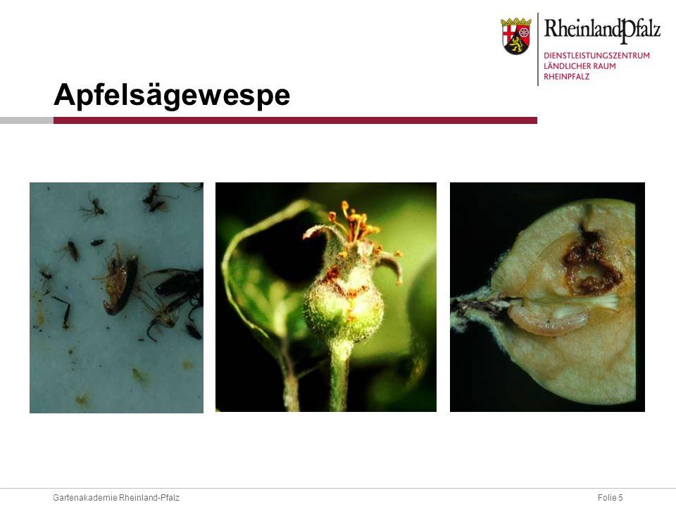 Folie 6Gartenakademie Rheinland-Pfalz Wespe legt ihre Eier in den Blütenboden ab; Larve bohrt sich hintereinander in 4 bis 6 Früchte ein besonders anfällig: Idared, Jonagold Bekämpfung: Absammeln erstbefallener Früchtchen Apfelsägewespe