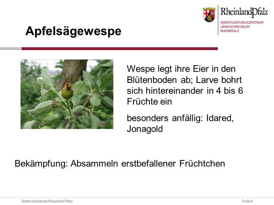Folie 6Gartenakademie Rheinland-Pfalz Wespe legt ihre Eier in den Blütenboden ab; Larve bohrt sich hintereinander in 4 bis 6 Früchte ein besonders anf