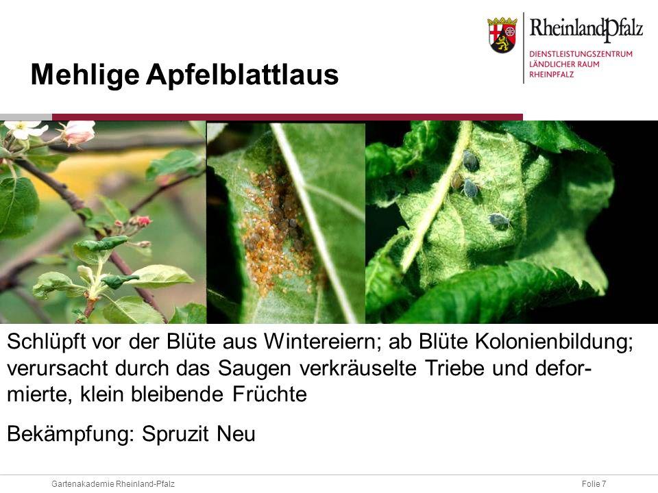 Folie 7Gartenakademie Rheinland-Pfalz Schlüpft vor der Blüte aus Wintereiern; ab Blüte Kolonienbildung; verursacht durch das Saugen verkräuselte Trieb