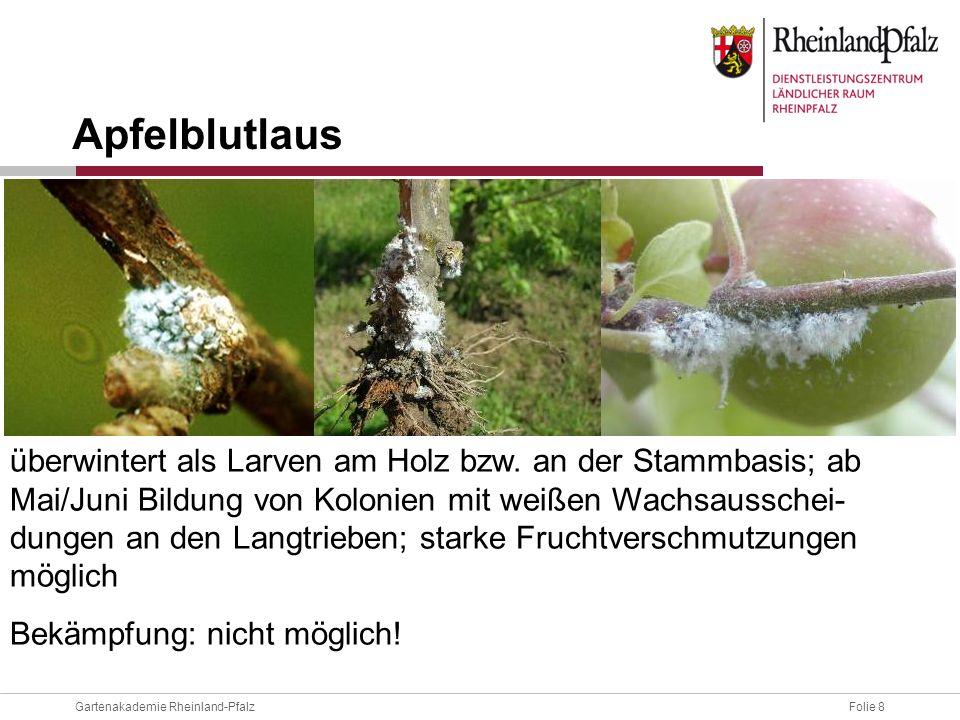 Folie 8Gartenakademie Rheinland-Pfalz überwintert als Larven am Holz bzw. an der Stammbasis; ab Mai/Juni Bildung von Kolonien mit weißen Wachsausschei