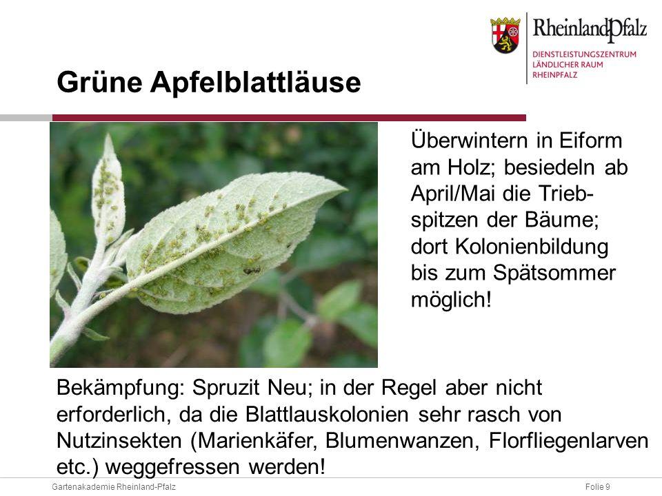 Folie 9Gartenakademie Rheinland-Pfalz Überwintern in Eiform am Holz; besiedeln ab April/Mai die Trieb- spitzen der Bäume; dort Kolonienbildung bis zum