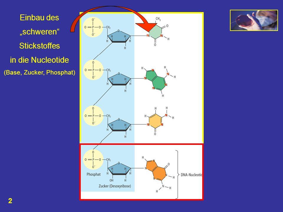 N N N N N N NN N N N N N N N Einbau des schweren Stickstoffes in die Nucleotide (Base, Zucker, Phosphat) 2