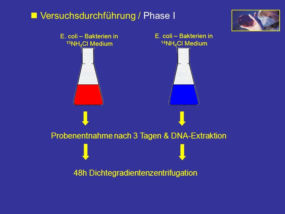 Probenentnahme nach 3 Tagen & DNA-Extraktion 48h Dichtegradientenzentrifugation Versuchsdurchführung / Phase I E. coli – Bakterien in 15 NH 4 Cl Mediu