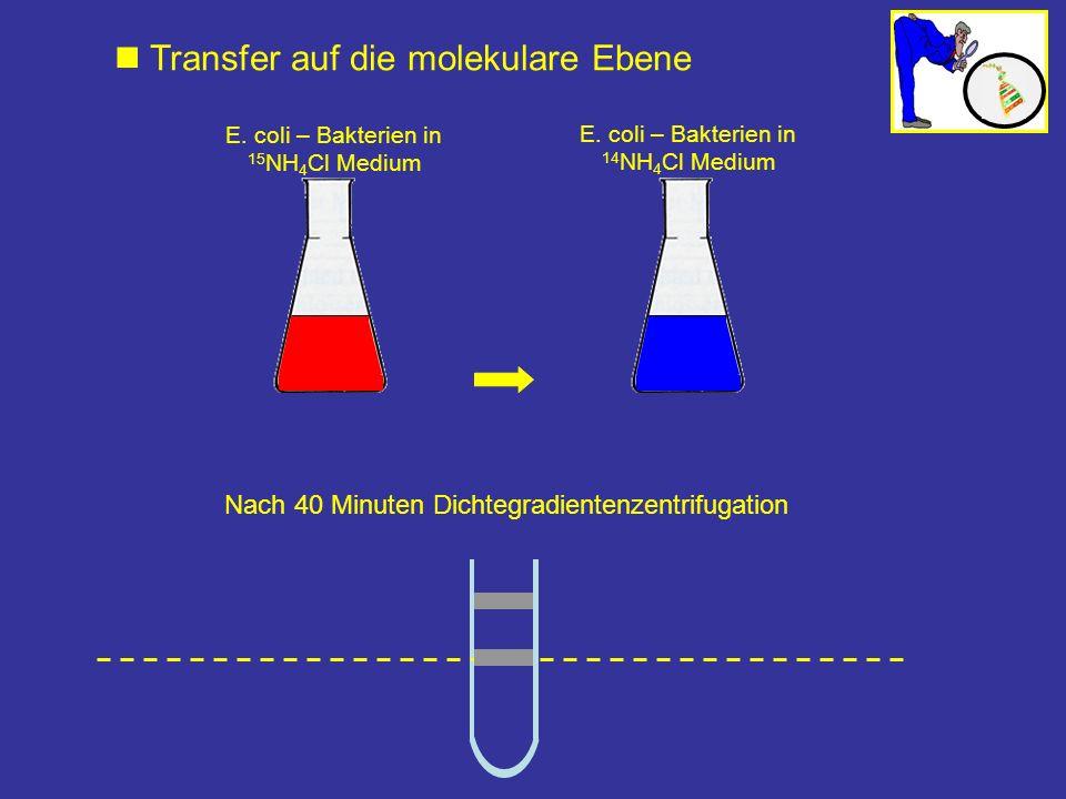 Nach 40 Minuten Dichtegradientenzentrifugation E. coli – Bakterien in 15 NH 4 Cl Medium E. coli – Bakterien in 14 NH 4 Cl Medium Transfer auf die mole