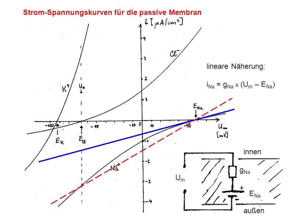 Strom-Spannungskurven für die passive Membran lineare Näherung: i Na = g Na x (U m – E Na ) UmUm g Na + E Na innen außen