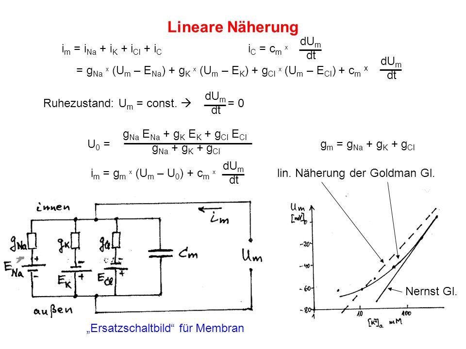 Lineare Näherung i m = i Na + i K + i Cl + i C i C = c m x = g Na x (U m – E Na ) + g K x (U m – E K ) + g Cl x (U m – E Cl ) + c m x U 0 =g m = g Na
